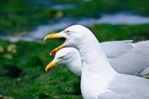 seagulls in Llandudno